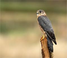 3_Merlin Falcon