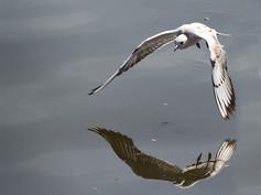 Immature Black Headed Gull Martin Allen