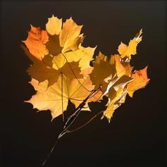3_Appreciation of Colour - Autumn Maple