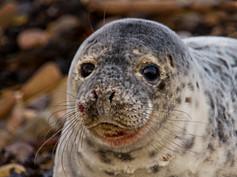 4_Grey Seal Pup
