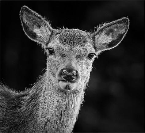 Mono Deer
