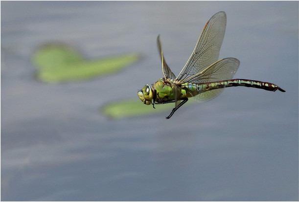 Emperor Dragon Fly