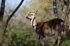 4_Sika deer in the woodland sunlight