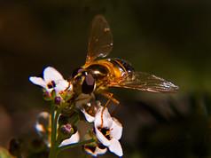 3_Hoverfly Epistrophe