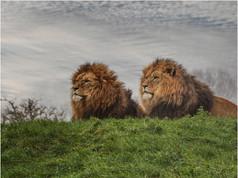 3_Lions Watching.jpg
