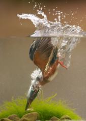 2016 'Kingfisher Catching Fish' by John Bowcutt