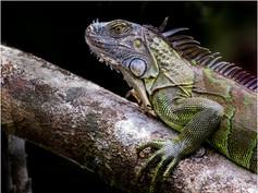 2_A Green Iguana