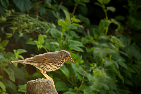 2_Thrush after bathing