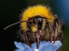 2_Early Bumblebee