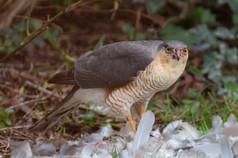 3_Sparrowhawk's supper