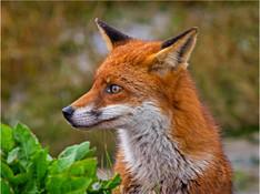 RED FOX IN THE RAIN.jpg