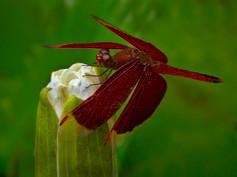 Maroon Dragonfly Martin Allen