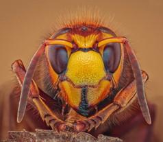2021 'Hornet Portrait' by Paul Wiles