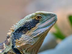 Iguana Rawdon Bottom