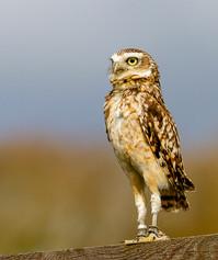 4_Small Owl (Athene Noctua)