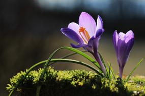 Krokus in der Märzsonne
