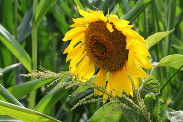 Sonneblume am Maisfeld