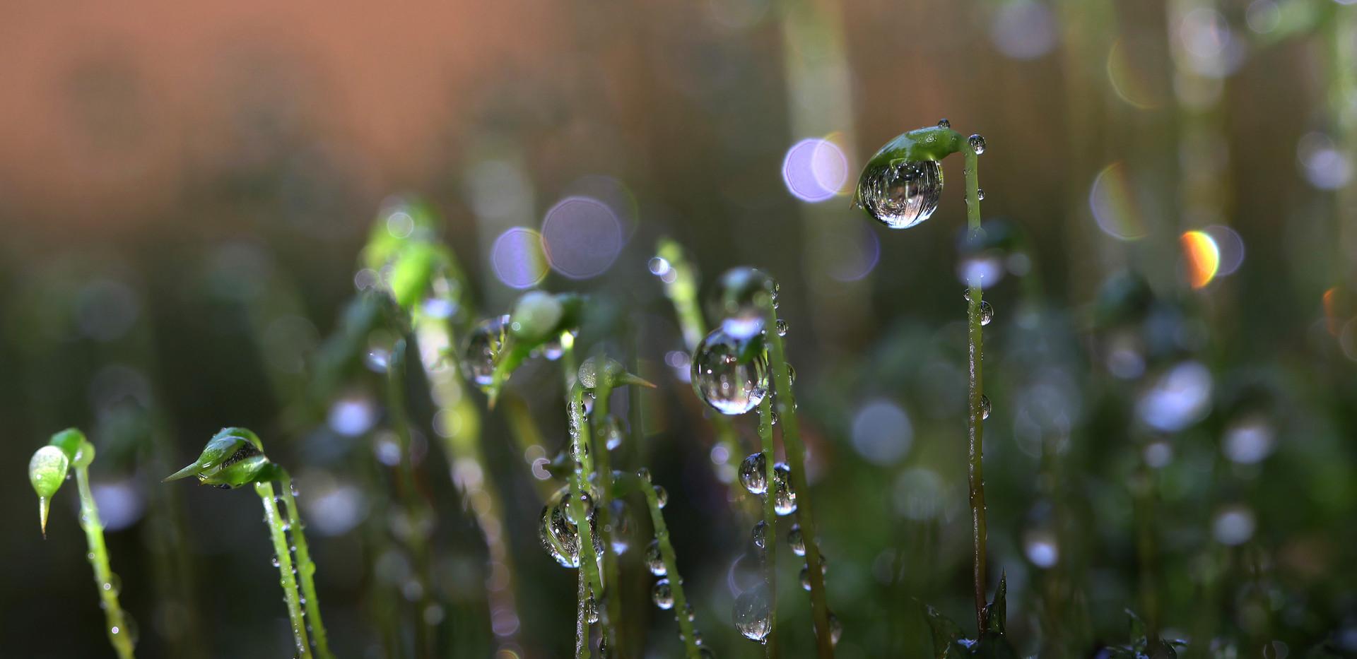 Frauenhaarmoos nach Gewitterregen