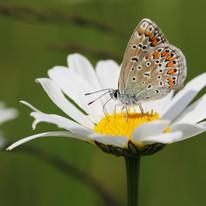 Kleiner Blaufalter - Weibcheninsekt_03.jpg