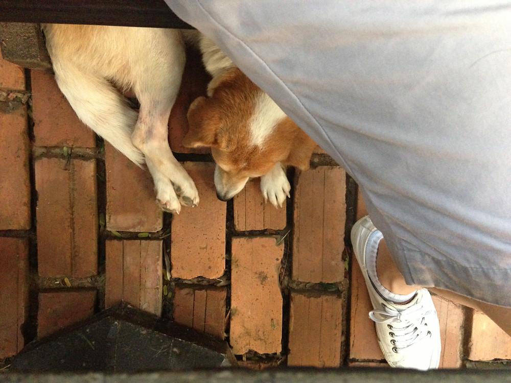 ルアンパバーン レストランで寄ってきた犬