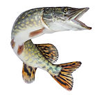 Fish pike isolated. Freshwater alive river fish with scales.jpg