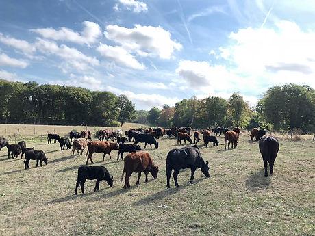Cheptel Samuel Fouillard éleveur de vaches salangus en france