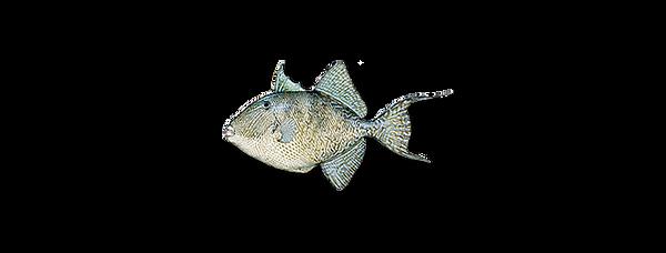 triggerfish-grey.png