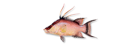 1-hogfish.png