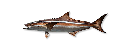 1-cobia.png