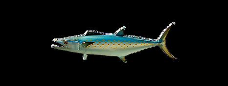 1-spanish-mackerel.png