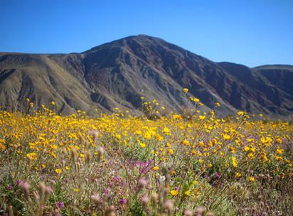 The Breathtaking Superbloom in Anza-Borrego Desert State Park