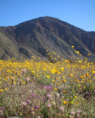 Superbloom in Anza Borrego.JPG