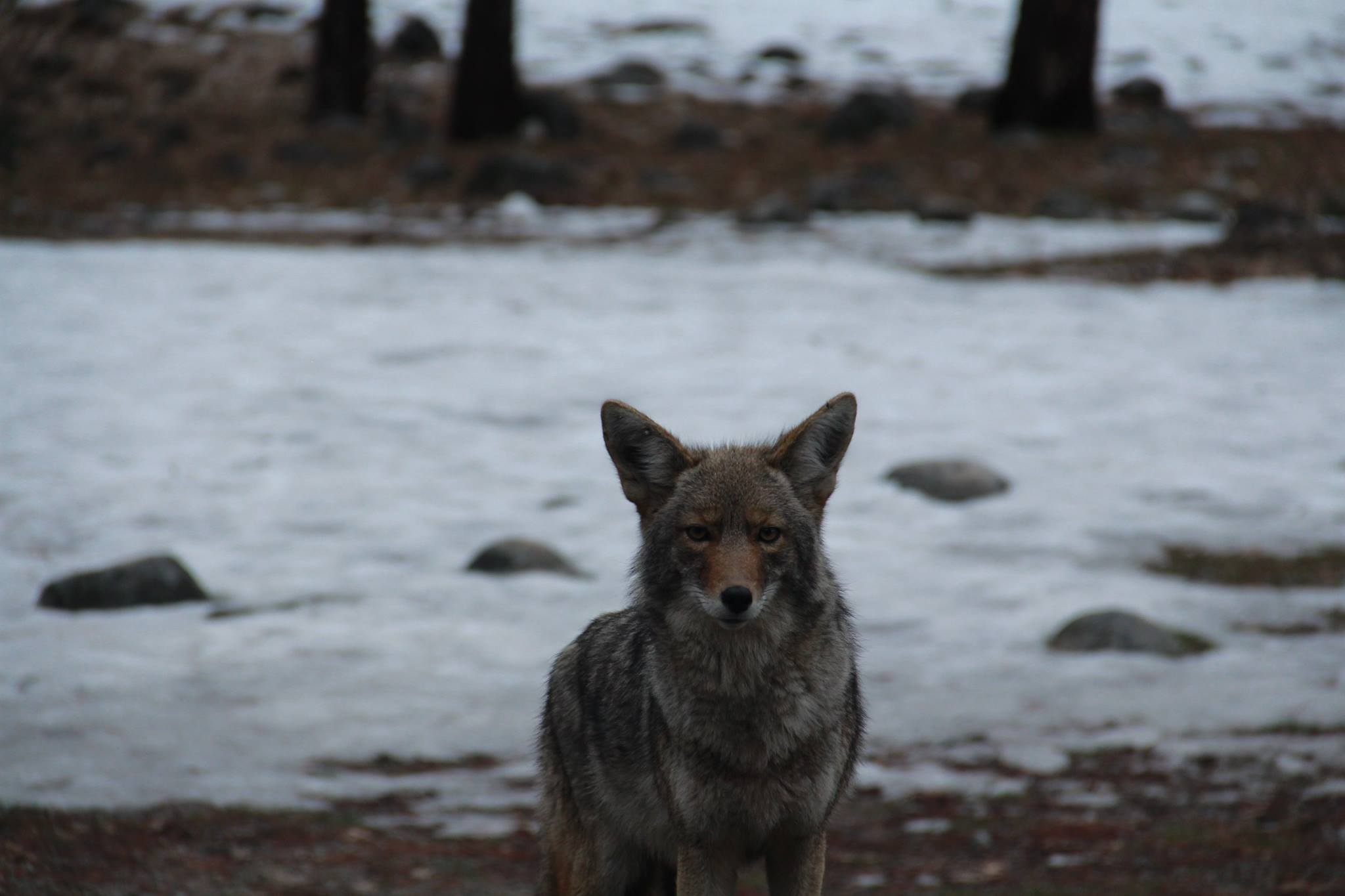 Lone coyote in Yosemite National Park