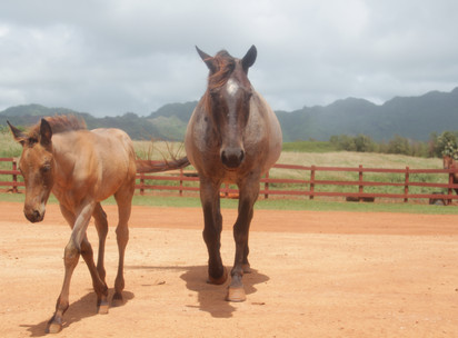 CJM Country Stables Offer Guests an Unparalleled Experience on Kauai's South Shore
