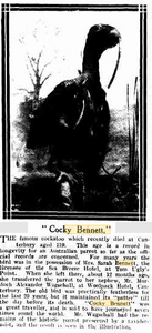 "Sydney Mail (NSW : 1912 - 1938) Wed 5 Jul 1916 Page 26 ""Cocky Bennett,"""
