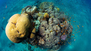 Save the corals