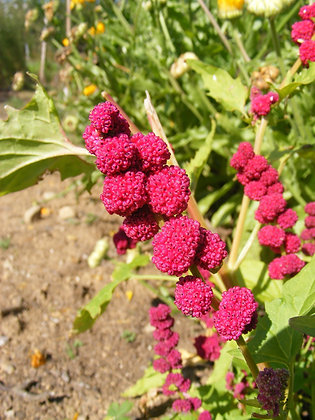 Épinard-fraise 'Hurlevent' (Chenopodium capitatum)