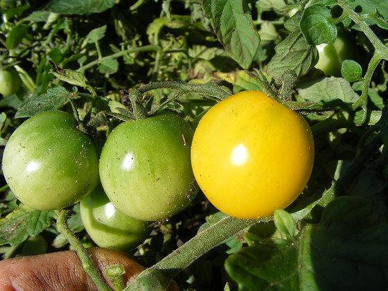 Tomate 'Gold Nugget' (Lycopersicon esculentum)