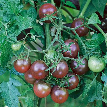 Tomate 'Black Cherry' (Lycopersicon esculentum)