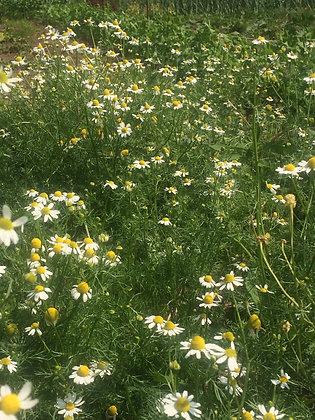 Camomille Allemande (Matricaria recutica)