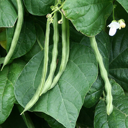 Haricot 'Kentucky Wonder' (Phaseolus vulgaris)