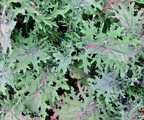 Kale 'Red Russian' (Brassica napus)