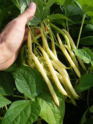 Haricot 'Rocdor' (Phaseolus vulgaris)