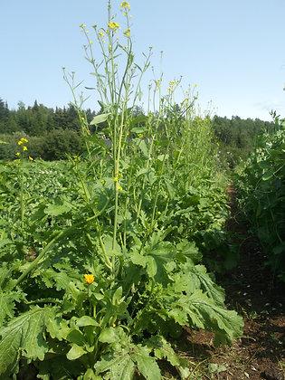 Moutarde verte d'antan (Brassica juncea)