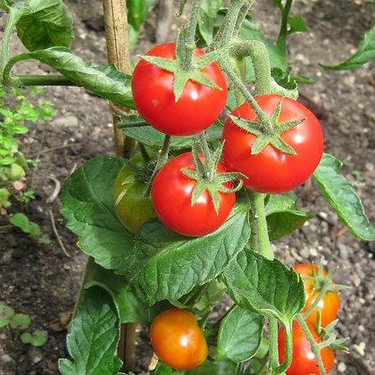 Tomate 'Latah' (Lycopersicon esculentum)