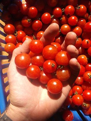 Tomate 'Sub-Arctic' (Lycopersicon esculentum)