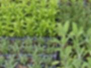 semences et plants de légumes biologiques