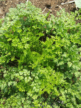 Cerfeuil (Anthriscus cerefolium)