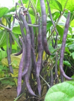 Haricot 'Royal Burgundy' (Phaseolus vulgaris)