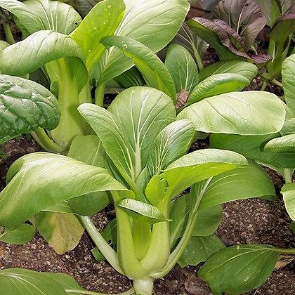 Pac Choy 'Shanghai Green' (Brassica rapa)